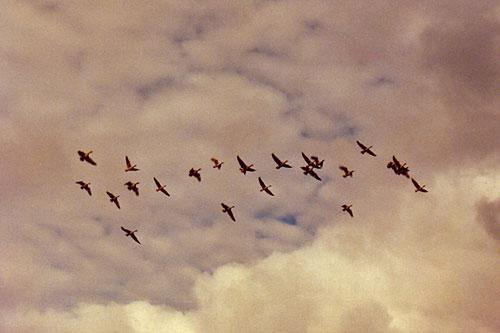 Hanhitokka lennossa © Eero Niku-Paavo