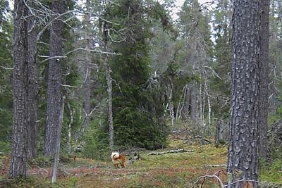 Suomenpystykorva hakulenkillä © Eero Niku-Paavo 2015