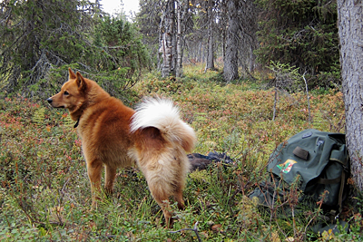 Kaupallistuvaa metsästystä ihmettelevä suomenpystykorva © Eero Niku-Paavo 2015